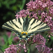 Scarce Swallowtail — Stock Photo #1695954