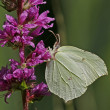 Stock Photo: Brimstone, Gonepteryx rhamni