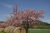 Japanese Cherry tree in spring — Stock Photo