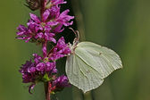 Brimstone, Gonepteryx rhamni — Stock Photo