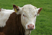 Speckled brown cow — Stock Photo