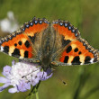 Stock Photo: Small Tortoiseshell