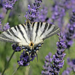 Scarce Swallowtail — Stock Photo #1711168