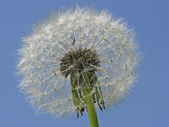 Common Dandelion (Taraxum officinale) — Stock Photo