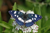 Southern White Admiral — Stock Photo