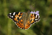 Painted Lady, Vanessa cardui — Stock Photo