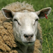 Sheep, Portrait — Stock Photo