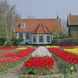 Tulip field near Lisse in the Netherland — Stock Photo