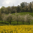 KCherry trees with rape field in Hagen — Stock Photo