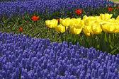 Tulip mix, sort kikomachi, nederland — Stockfoto