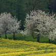 Cherry trees with rape field in Hagen — Stock Photo
