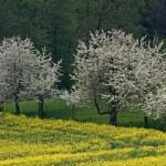 Cherry trees with rape field in Hagen — Stock Photo