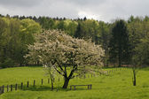 Cherry tree in spring, Lower Saxony — Stock Photo