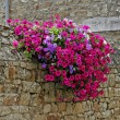 Wall with flowers (Petunia) France — Stock Photo #1768042