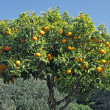 Sweet Orange, Diano Castello, Liguria — Stock Photo