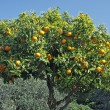 Sweet Orange, Diano Castello, Liguria — Stock Photo #1875160