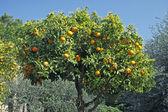 Sweet Orange, Diano Castello, Liguria — Stock Photo