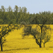 Rapeseed field with apple trees, Germany - Stock Photo