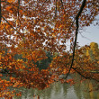 Northern Red Oak in autumn, Germany — Stock Photo #1897279