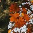 Northern Red Oak in autumn — Stock Photo #1897287