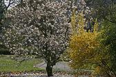 Magnolia tree in spring, Germany — Stock Photo