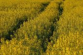 Rape field in Germany — Stock Photo