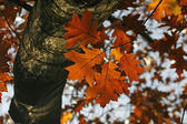 Northern Red Oak in autumn — Stock Photo