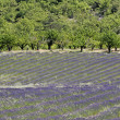Lavender fields, Provence, France — Stock Photo