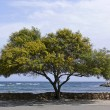 Stock Photo: Acacitree in STeodoro, Sardinia