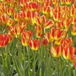 Stock Photo: TulipSort Florette, Tulip