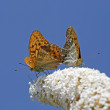 Argynnis paphia, Silver-washed Fritillar — Stock Photo