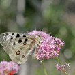 Parnassius apollo, Apollo — Stock Photo