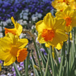 Narcissus, Lent lily, Daffodill — Stock Photo