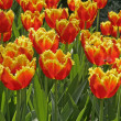 Tulipa Sort Florette, Tulip — Stock Photo