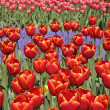 Tulipa 'Tanca Ciller', Tulip — Stock Photo