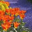 Stock Photo: TulipWorld Legend, Darwin-tulip