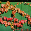 Stock Photo: Fence with Parthenocissus in autumn