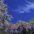 Wisteria, bush in spring, France — Stock Photo #2003209