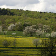 Rape field with cherry trees in spring — Stock Photo