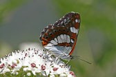 Limenitis reducta,Southern White Admiral — Stock Photo