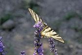 Iphiclides podalirius,Scarce Swallowtail — Stock Photo