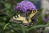 Papilio machaon, Old World Swallowtail — Stock Photo