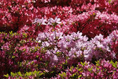 Japanese Azalea in spring — Stock Photo