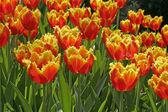 Tulipa sıralama florette, lale — Stok fotoğraf