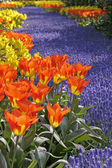 Tulipa World Legend, Darwin-tulip — Stock Photo