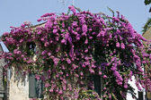 Bougainvillea glabra over a wall, Italy — Stock Photo