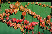 Fence with Parthenocissus in autumn — Stock Photo