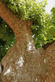 RoPlatanus tree in Roussillon, Provence — Stock Photo
