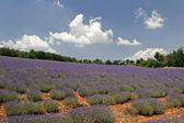 Lavender fields near Sault, Provence — Stock Photo