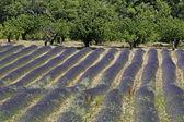 Lavender field near Croagnes, Provence — Stock Photo